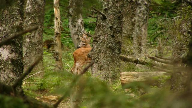 Chevreuil entre les sapin, Forêt de Taillard, Pilat.