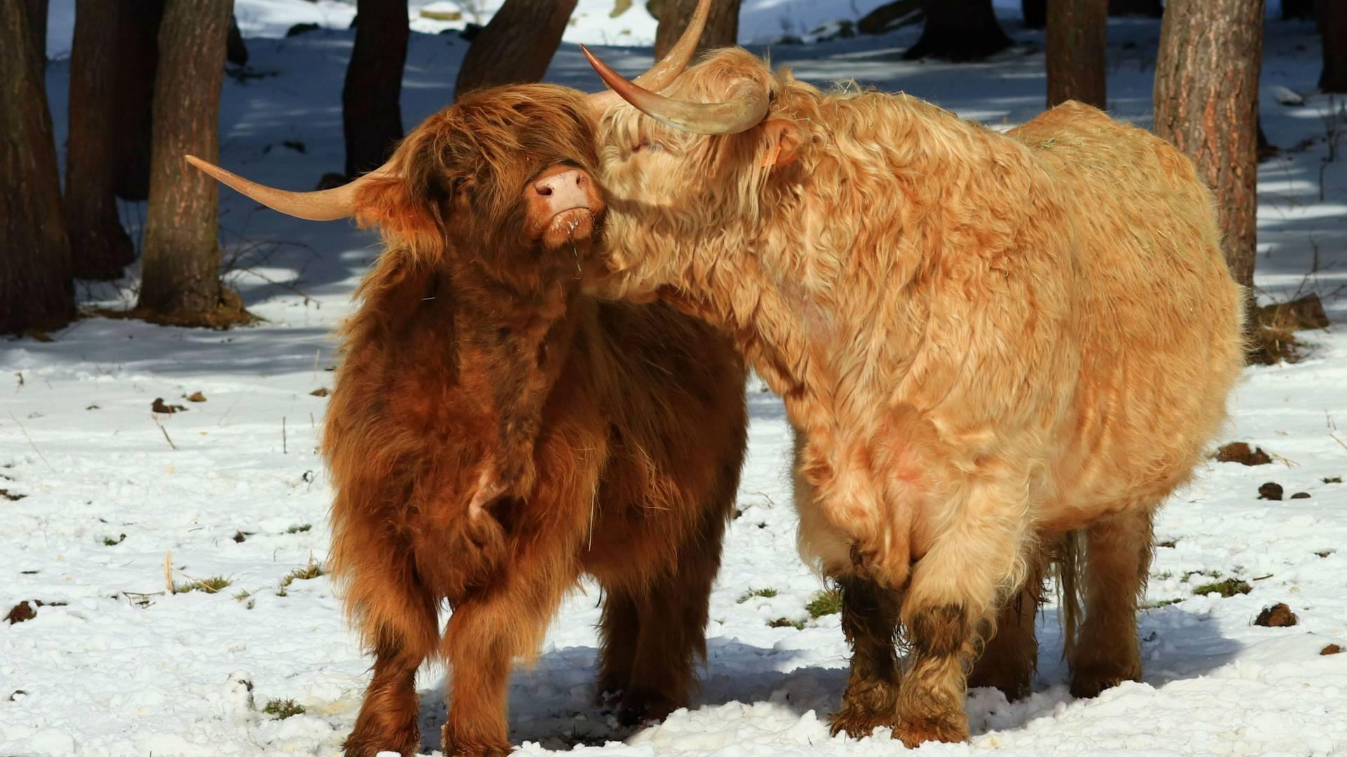 vaches écossaisses, Loire(42)