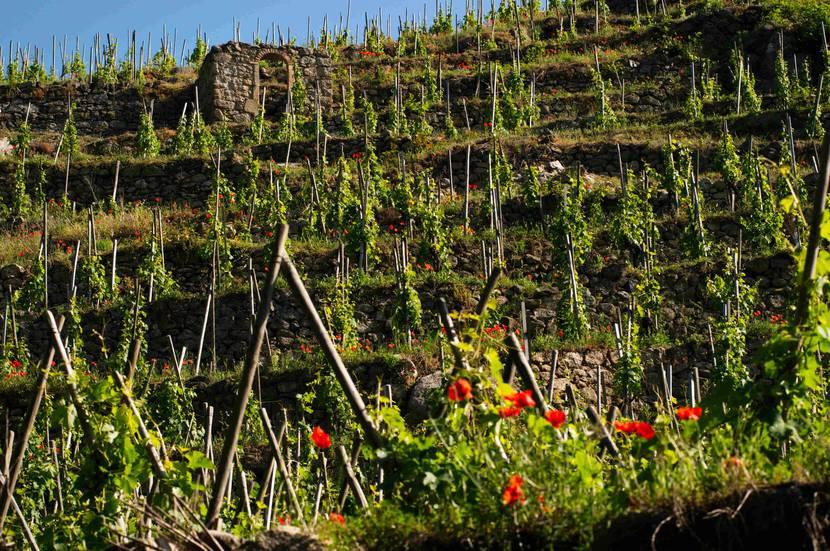 vignobles Côte-Rôtie