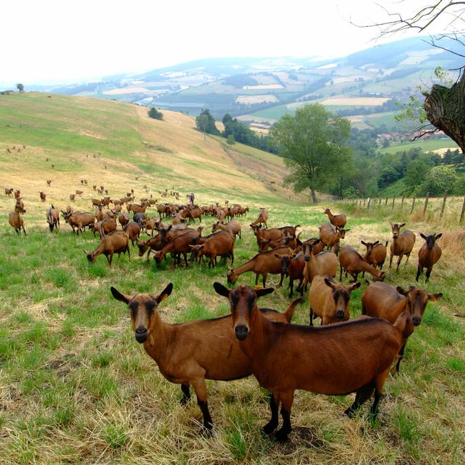 chèvres, Loire(42)